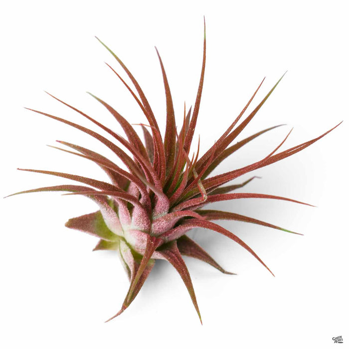 Ionantha Air Plant Red Enhanced