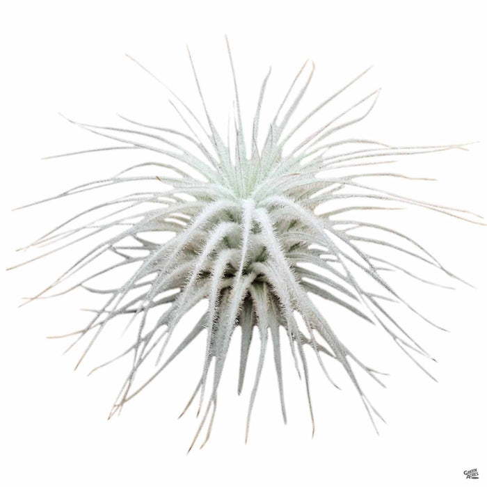 Tectorum Ecuador small