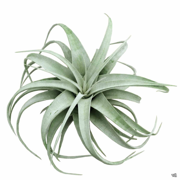 Xerographica small