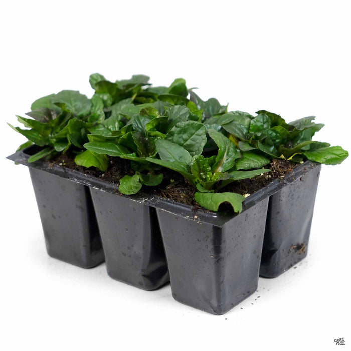 Ajuga 'Bronze' 6-pack
