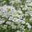 White Sweet Alyssum