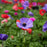 Poppy-Flowered Anemones