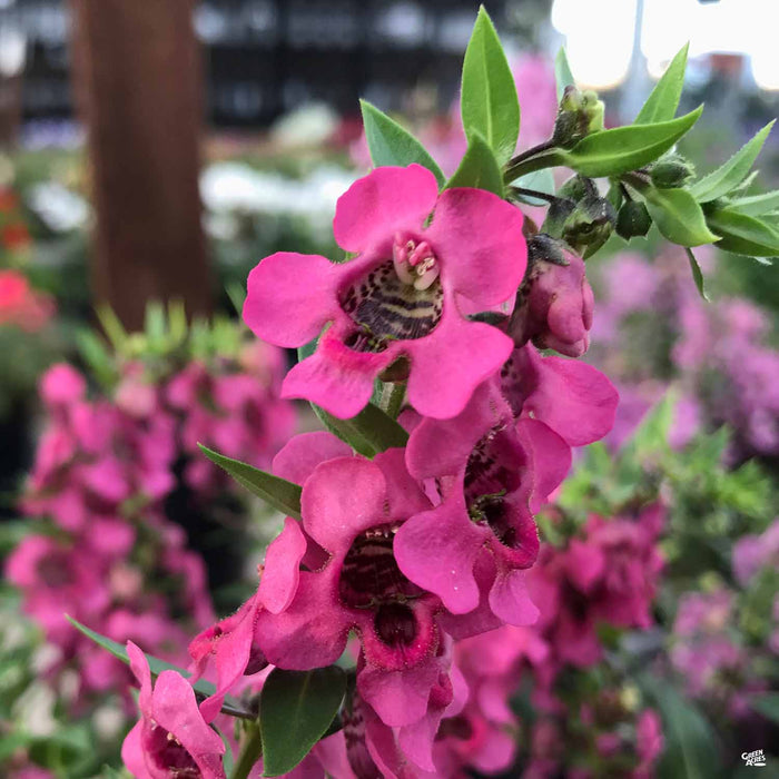 Angelonia Pink