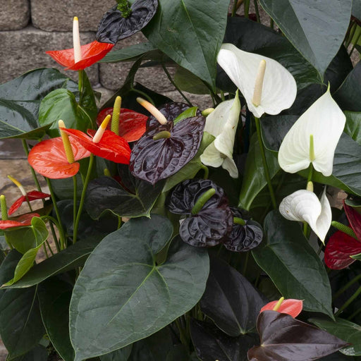 Anthurium Display