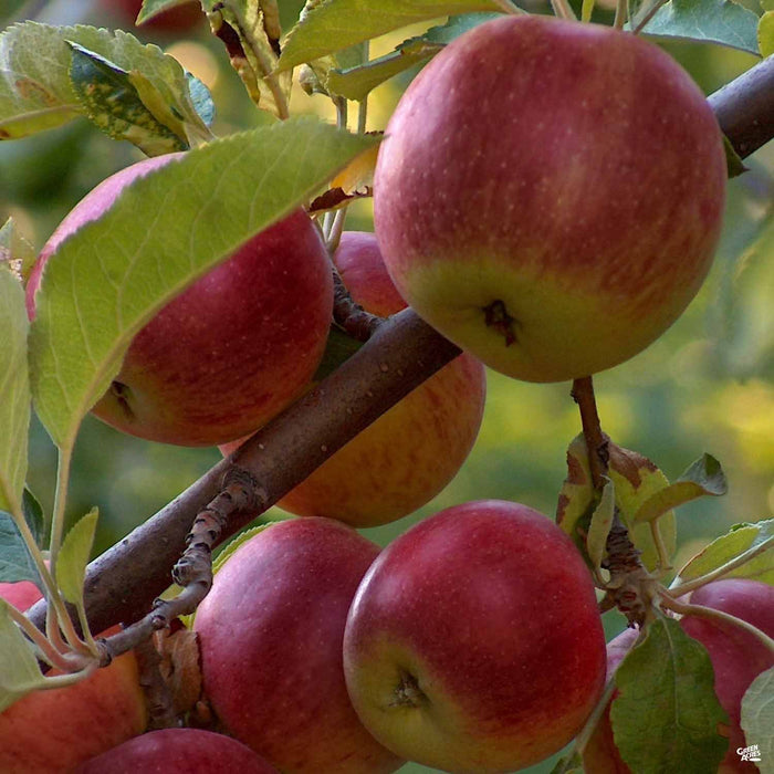 Apple 'Arkansas Black'