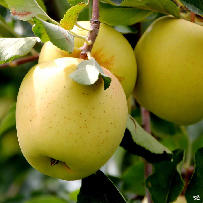 Apple 'Golden Delicious'