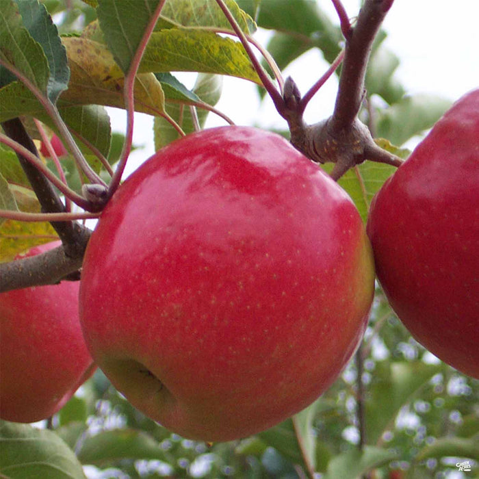 Apple 'Pink Lady'