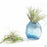 Trapezoid Airplant Holder in Blue with Plant