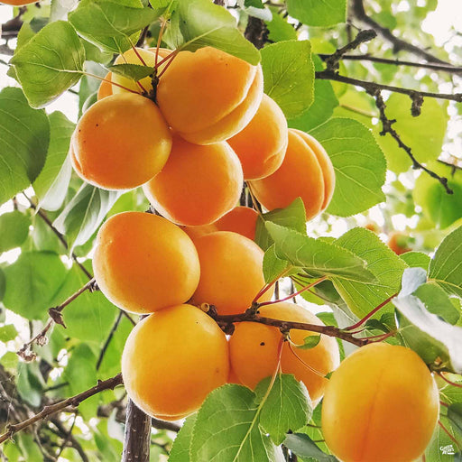 Apricot 'Tropic Gold'