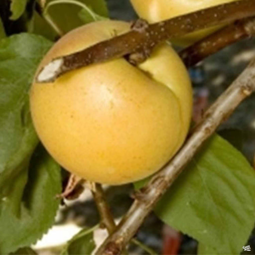 Aprium - White Aprium Interspecific Apricot 'Cot-N-Candy'