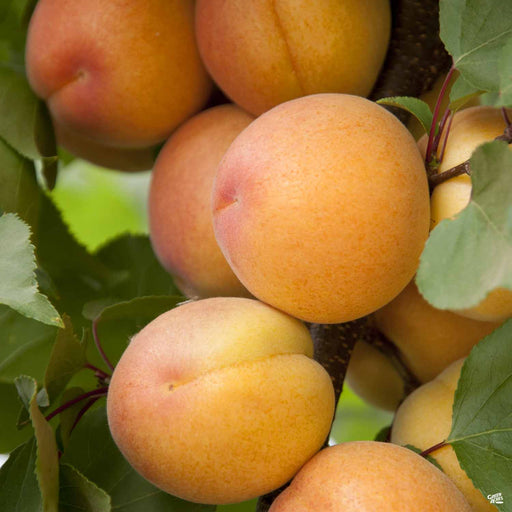 Aprium Interspecific Apricot 'Flavor Delight'