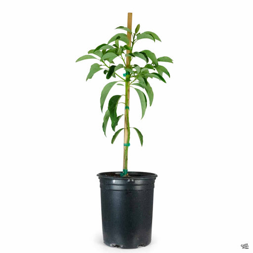 Avocado 'Mexicola Grande' plant 5 gallon