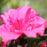Azalea Bloom-A-Thon Hot Pink