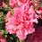 Azalea Bloom-A-Thon Pink Double