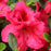 Azalea Bloom-A-Thon Red