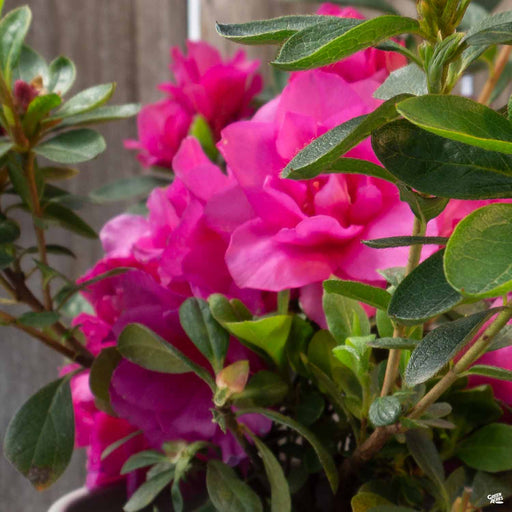 Azalea 'Happy Days'