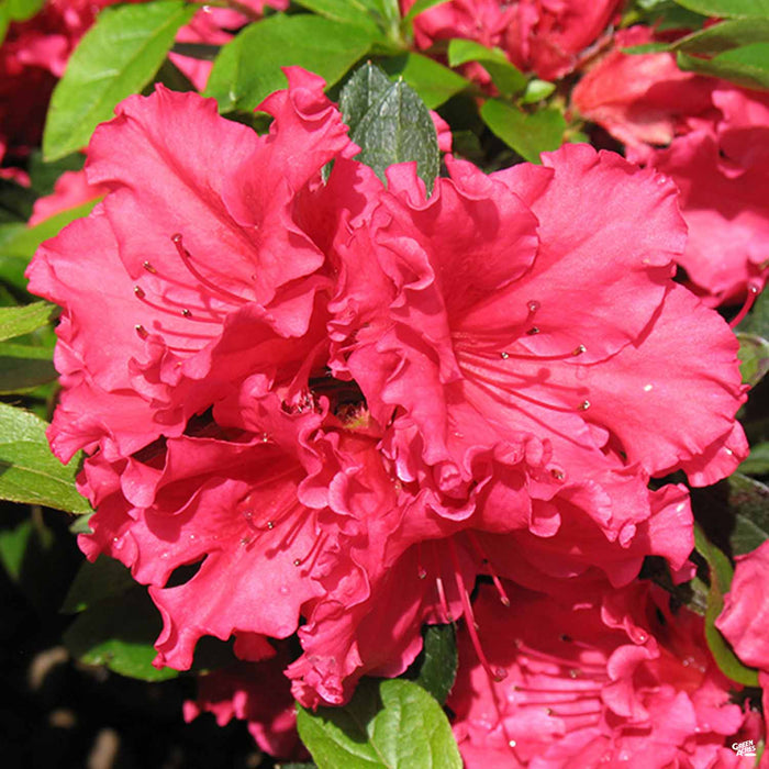 Azalea 'Red Bird'