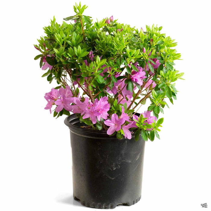Azalea 'Sherwood Orchid' 2 gallon
