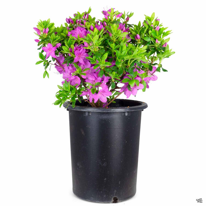 Azalea 'Sherwood Orchid' 5 gallon