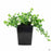White Bacopa 1 Quart
