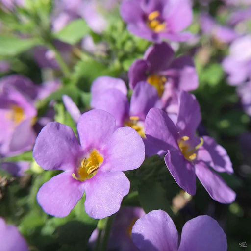 Bacopa Purple Closeup