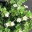 Bacopa White Closeup