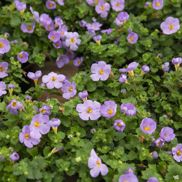 Purple Bacopa