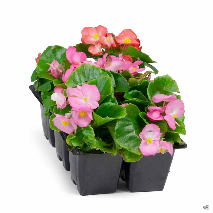 Begonia Green Leaf Pink and Rose 6- pack