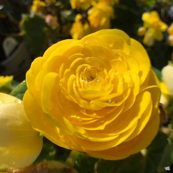 Nonstop Yellow Begonia