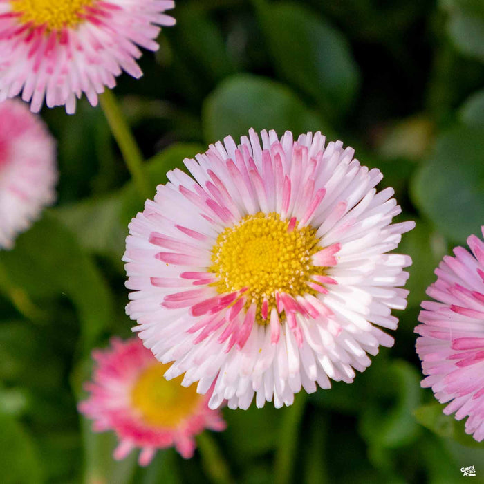 Bellis Light Pink