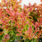 Barberry 'Admiration'