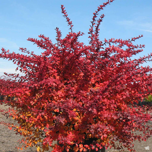 Barberry 'Crimson Pygmy' fall color