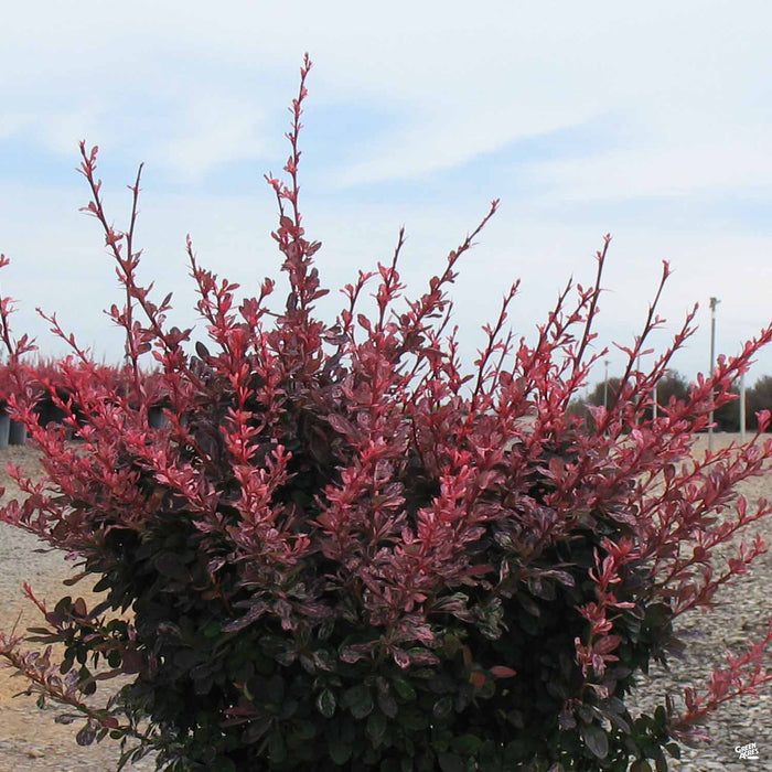 'Rose Glow' Barberry