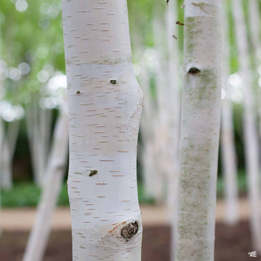 European White Birch