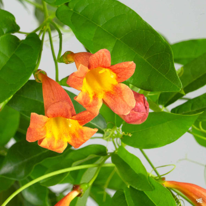 Crossvine 'Tangerine Beauty' Monrovia
