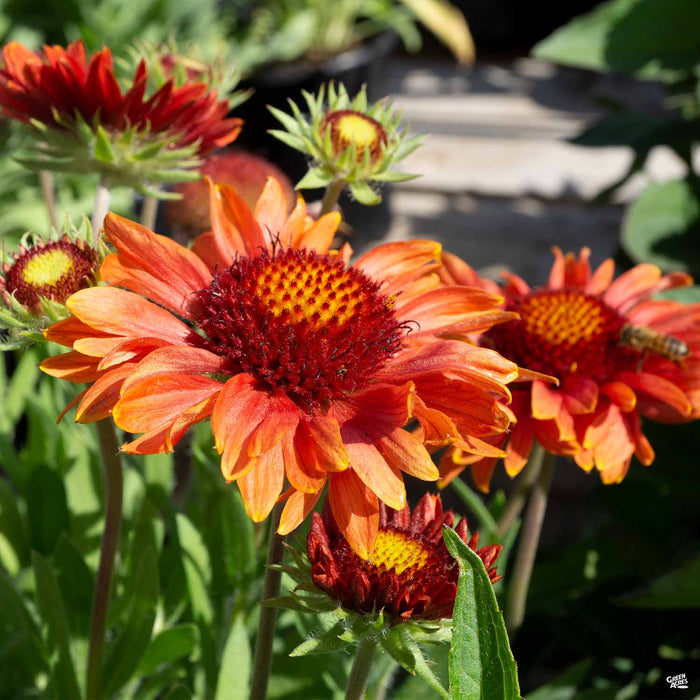 Blanket Flower 'California Red Shades'
