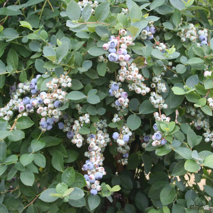 Bountiful Blue Blueberry Plant
