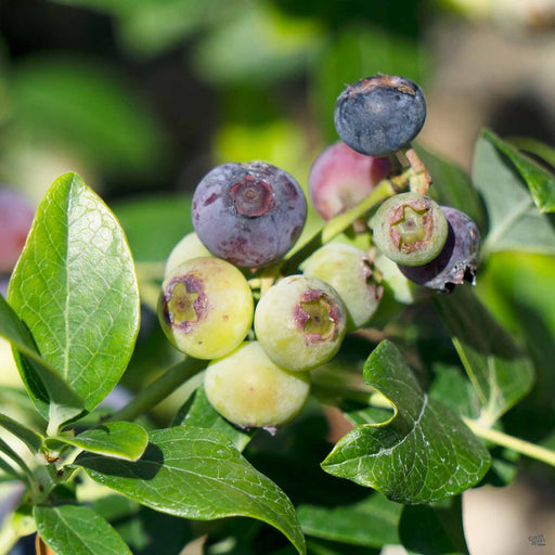 Blueberry 'O'Neal'