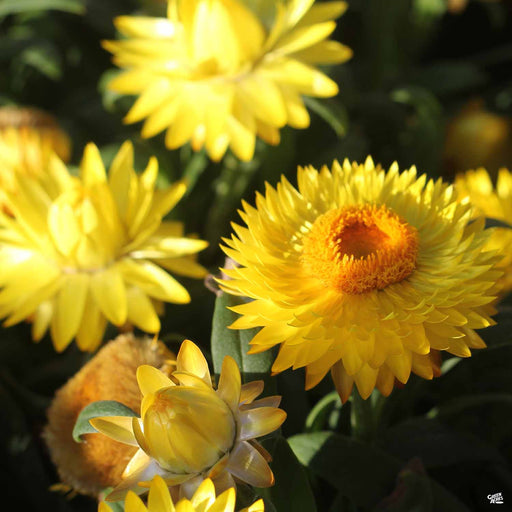 Bush Strawflower