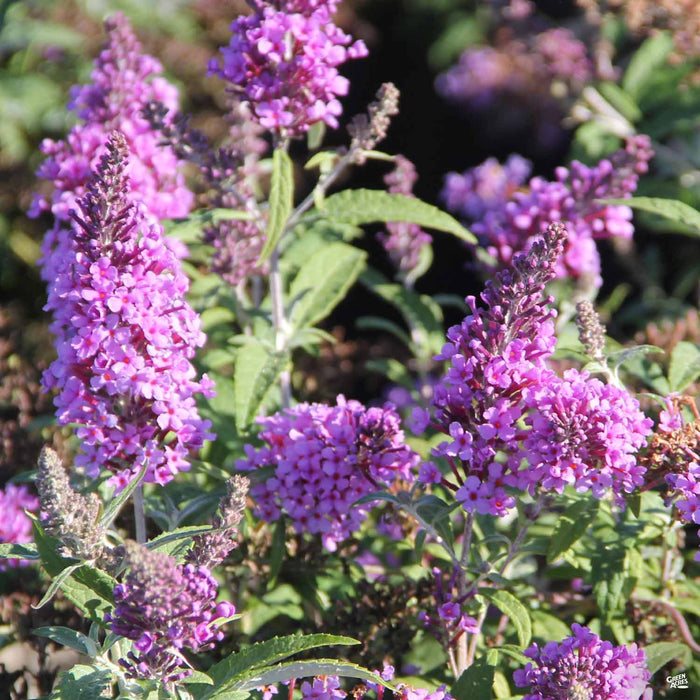 Butterfly Bush 'Buzz' Lavender