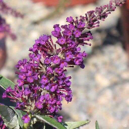 Butterfly Bush 'Buzz' Magenta