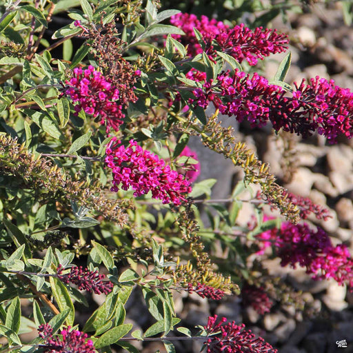 Butterfly Bush 'Buzz' Velvet