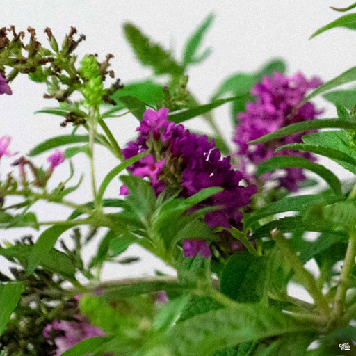 Butterfly Bush 'Ruby Chip'