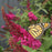 Butterfly Bush 'Miss Molly'