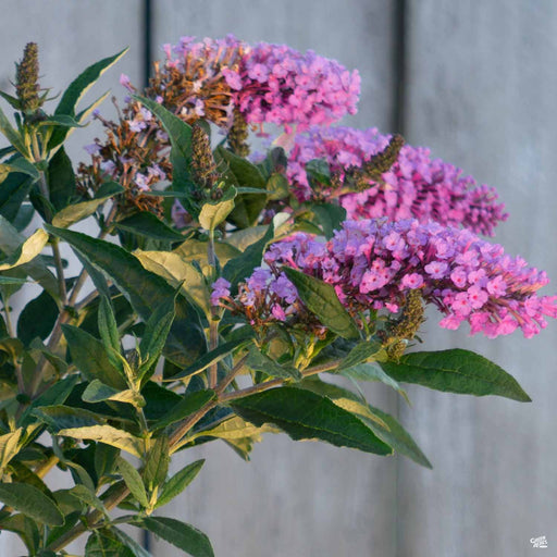 Pugster Periwinkle Butterfly Bush