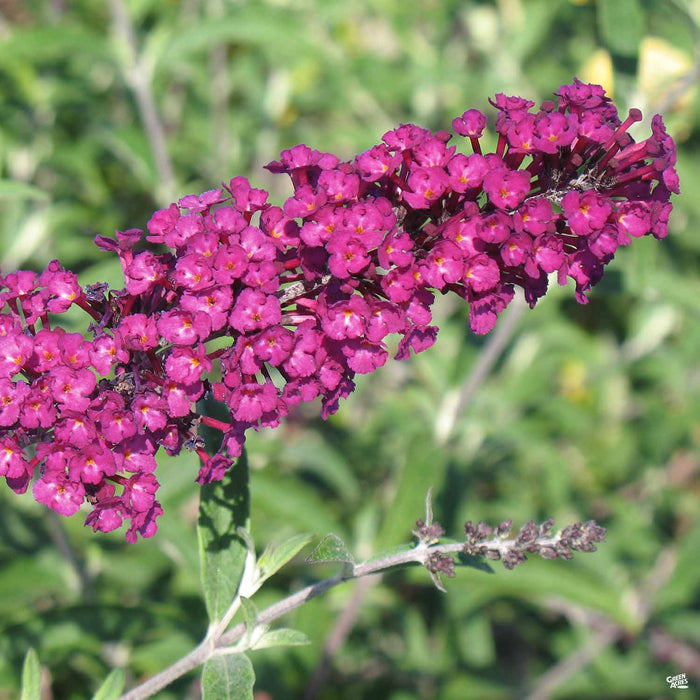 Butterfly Bush 'Royal Red'