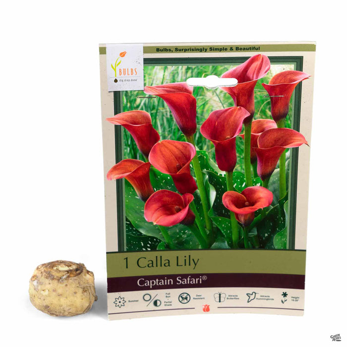Calla Lily 'Captain Safari' bulb