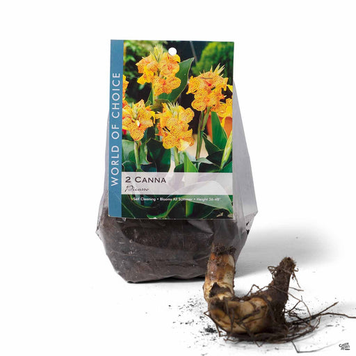 Canna Picasso 2-pack