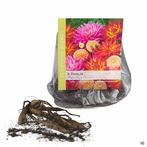 Dahlia Hot and Spicy Blend bulbs