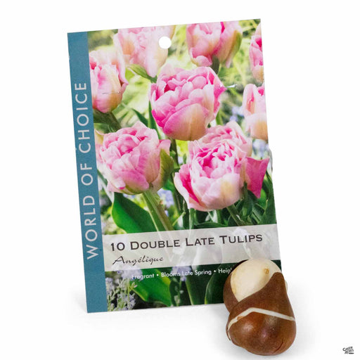 Double Late Tulips Angelique 10- pack